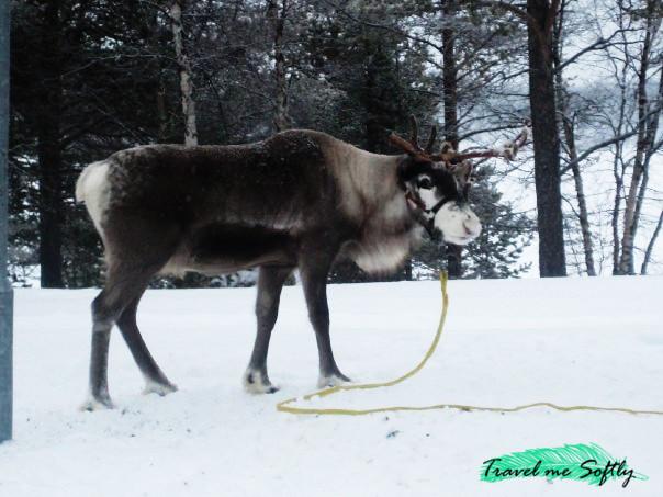 reno de los sami
