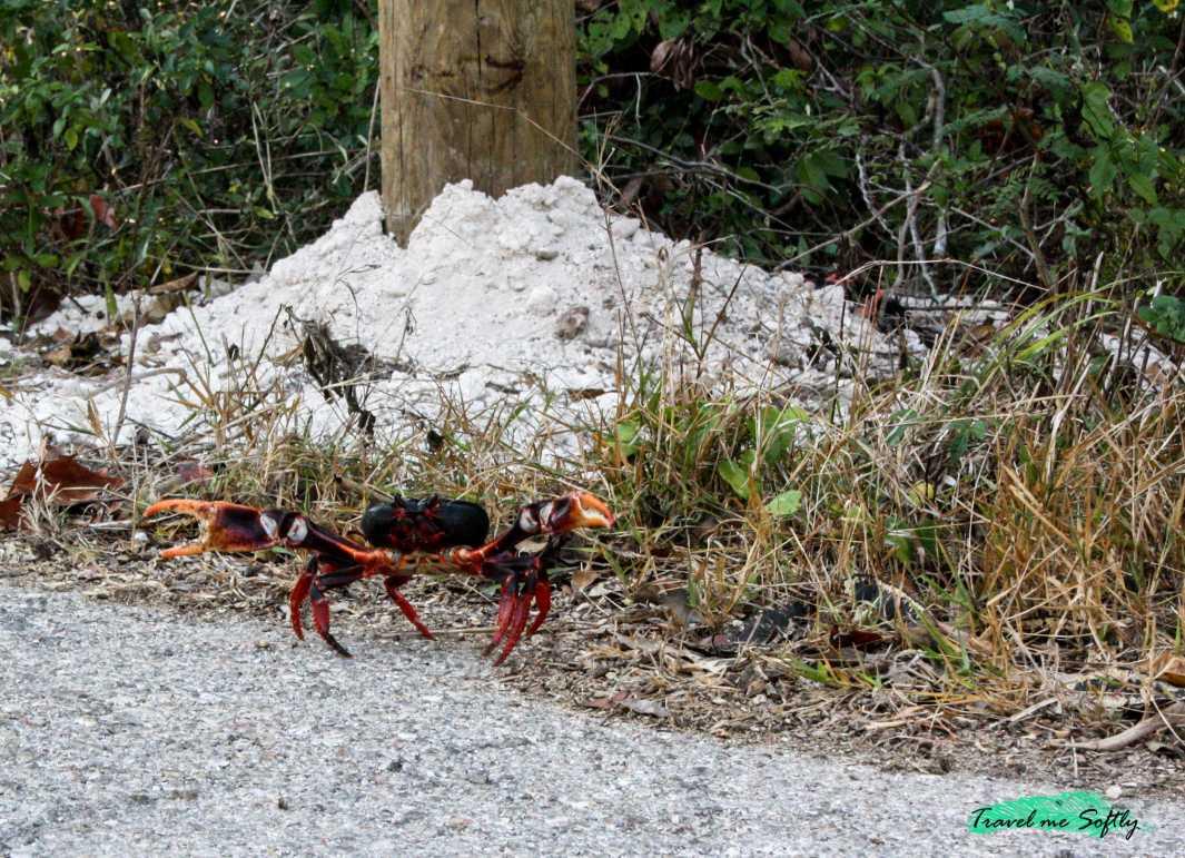 cangrejo rojo cuba