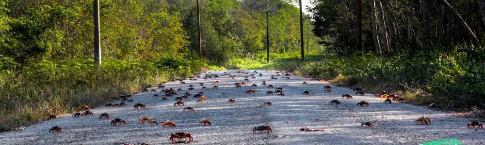 El Walking Dead del cangrejo zombie o la migración del cangrejo rojo en Cuba