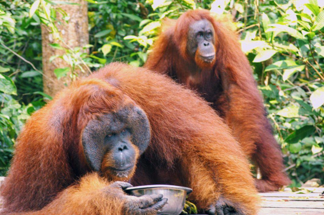 orangutan animales salvajes