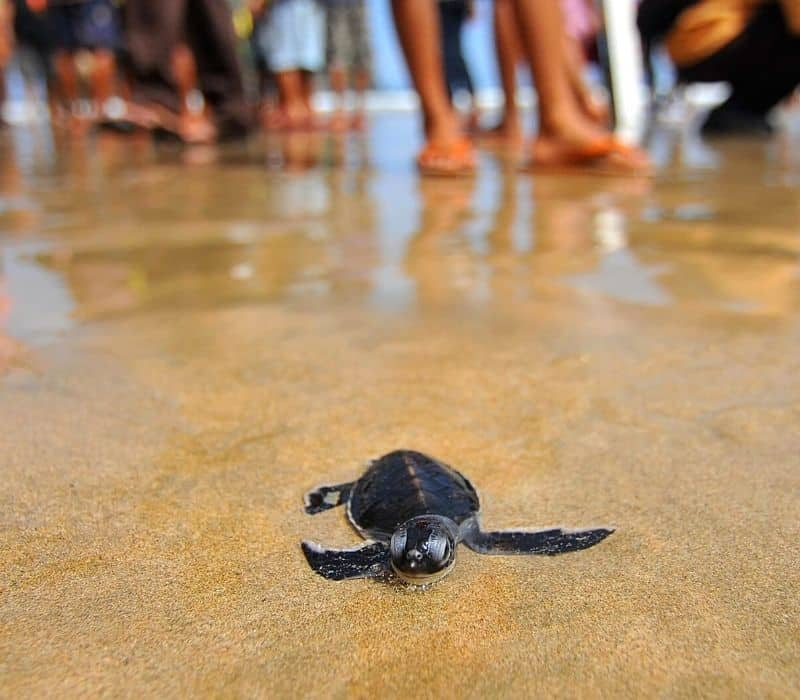 baby turtle being released on the beach