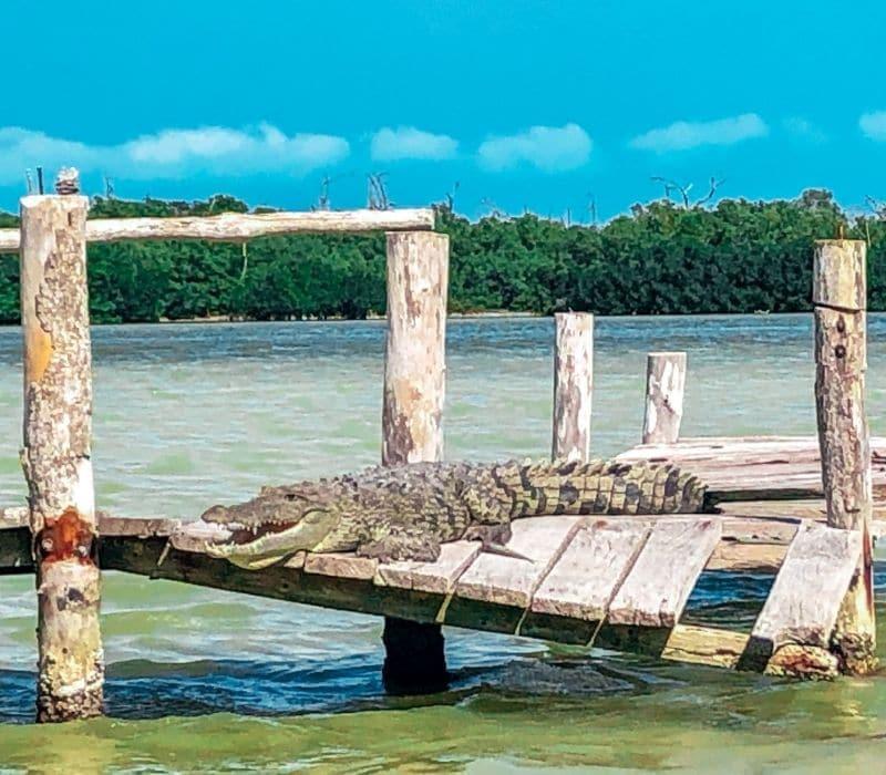 alligator on a wooden dock