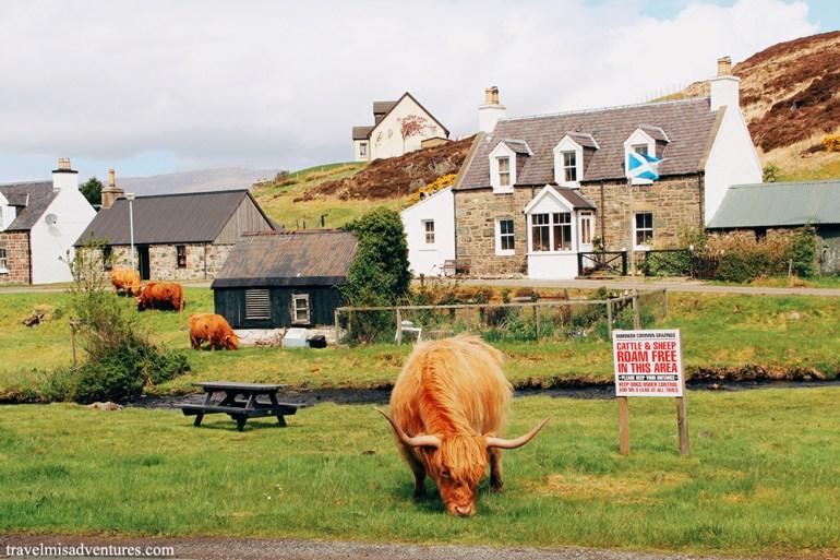 Highland-cows-Scozia-mucche-delle-highland