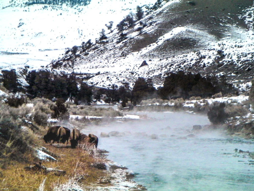 Bison grazing by the Boiling River in Montana, a hot spring fed part of Gardner River.