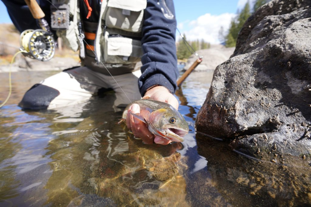 Fly fisherman catching a Cutthroat trout