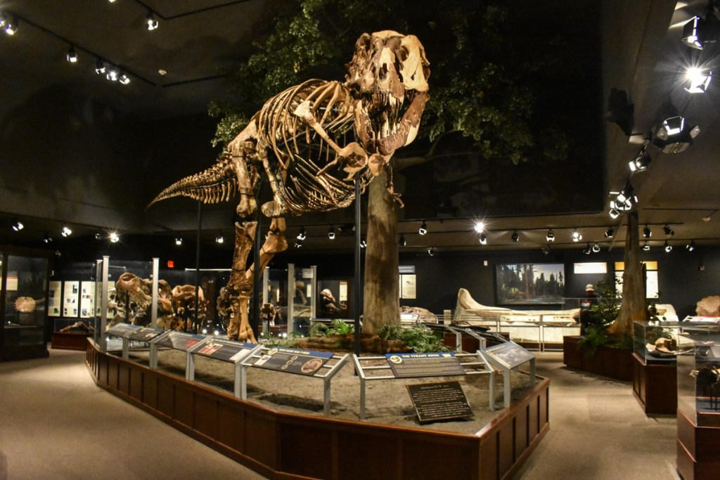 One of the best things to do in Montana is visiting the Museum of the Rockies, home to this gigantic Tyrannosaurus Rex skeleton.