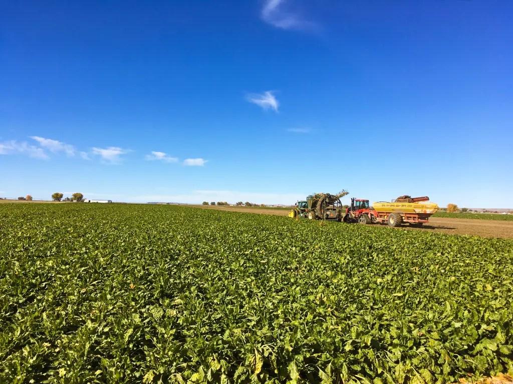 Sugar beet harvest in October in eastern Montana