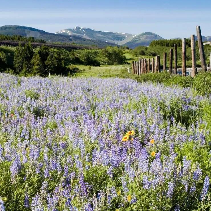Pretty wildflowers during springtime around Glacier National Park.