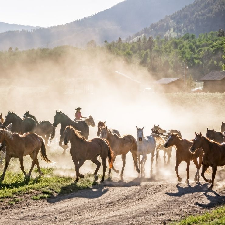 Horses running on a Montana dude ranch with a cowboy in the background