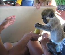 st kitts monkey travelnerdplans
