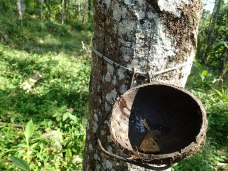 Rubber tapping.