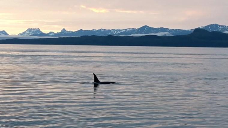 UnCruise Alaska orca