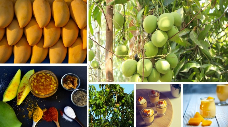 Mango – Benefits and Delicacies