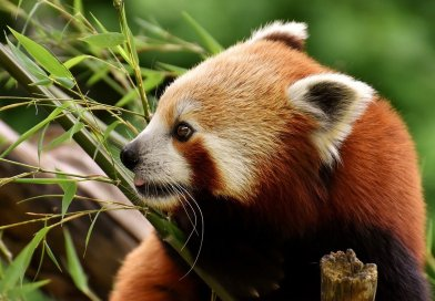 6 Best Protected Reserves for Red Pandas in India