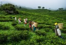 All You Want to Know about East Indian Tea Plantations