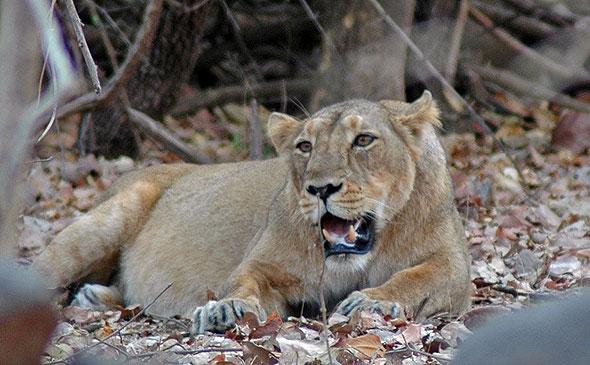 Lions at Sasan Gir Wildlife Reserve