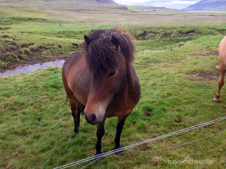 icelandic_horses4