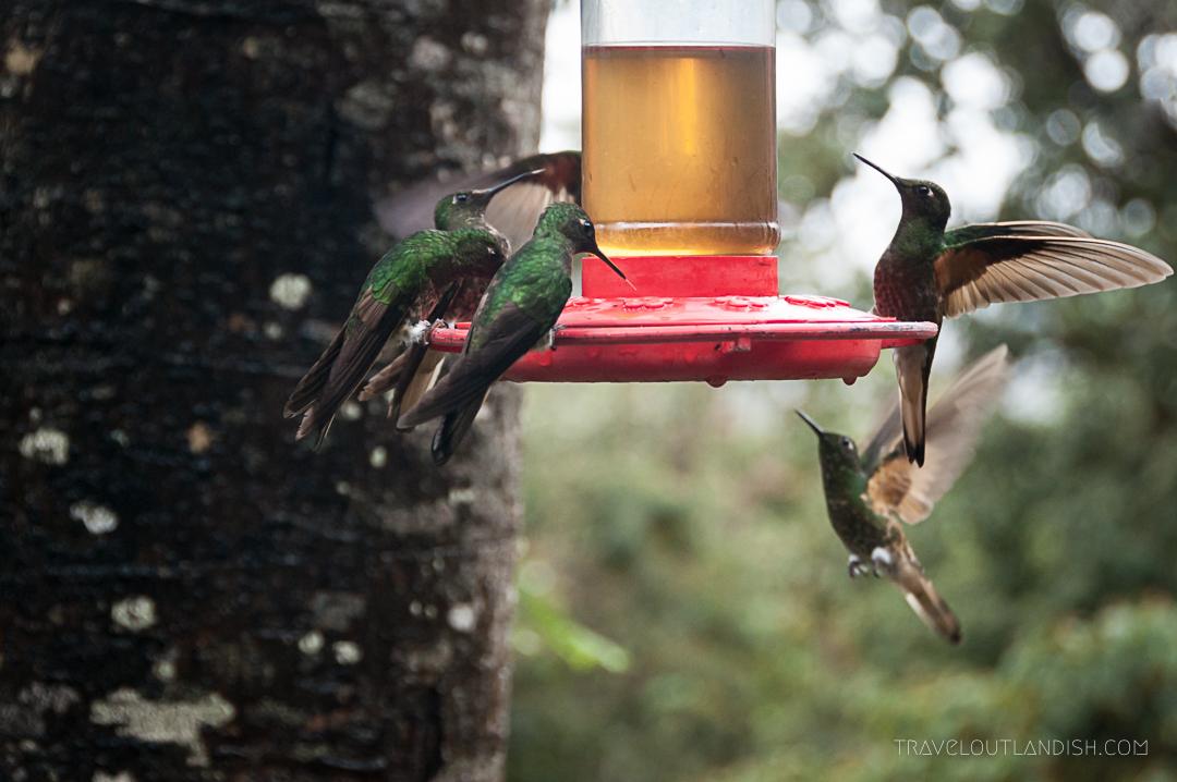 Valle de Cocora Hike - Hummingbirds at Acaime