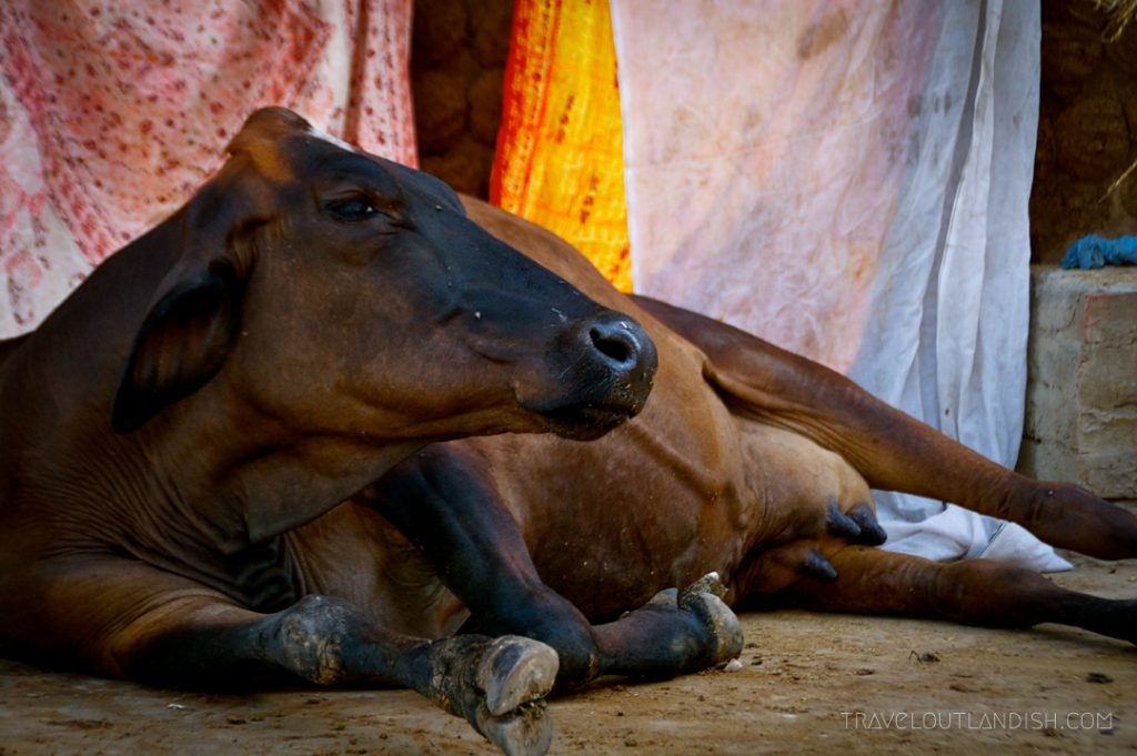Holy cow in Varanasi