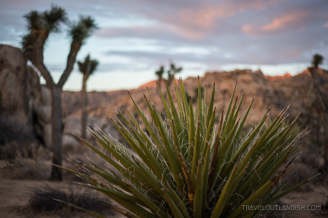 Things to do in Joshua Tree National Park - Desert Landscape in Joshua Tree