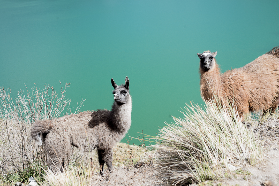 Llamas at Laguna Quilotoa