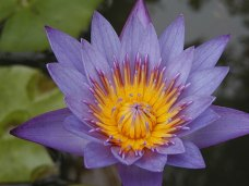 Water lily in basin; Mill Reef