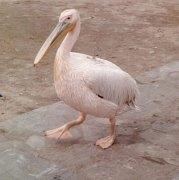 Petros the Pelican, Chora, Mykonos, Greece