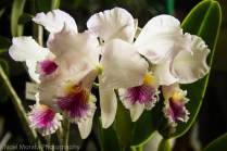 Hilo Orchid Show