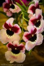 Rare pink Miltonia orchids