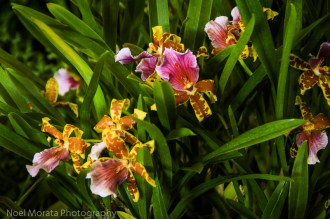 Hilo Orchid Show 2013 (43)