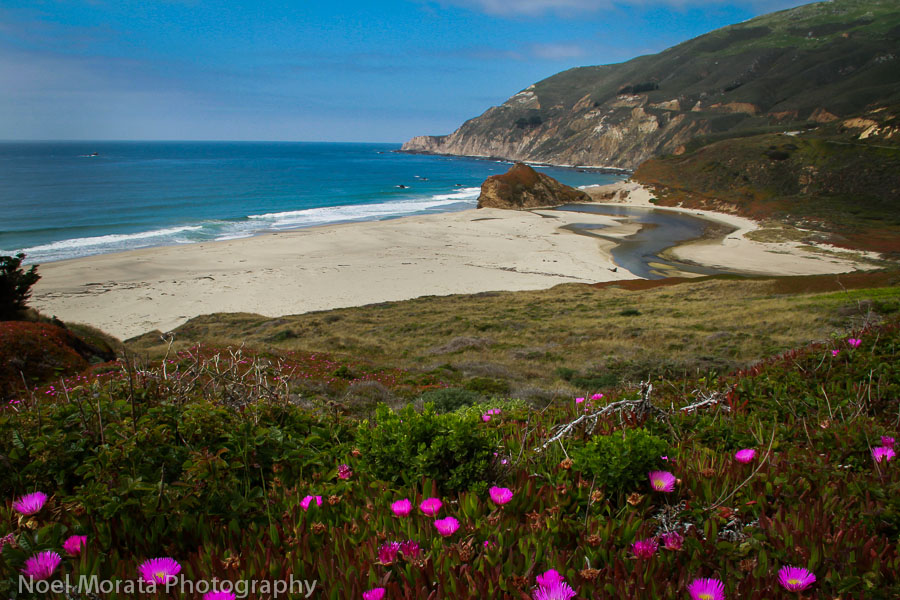 Hot pink ice plants blooming at Big Sur