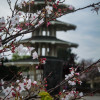Cherry blossom and pagoda in Japan town