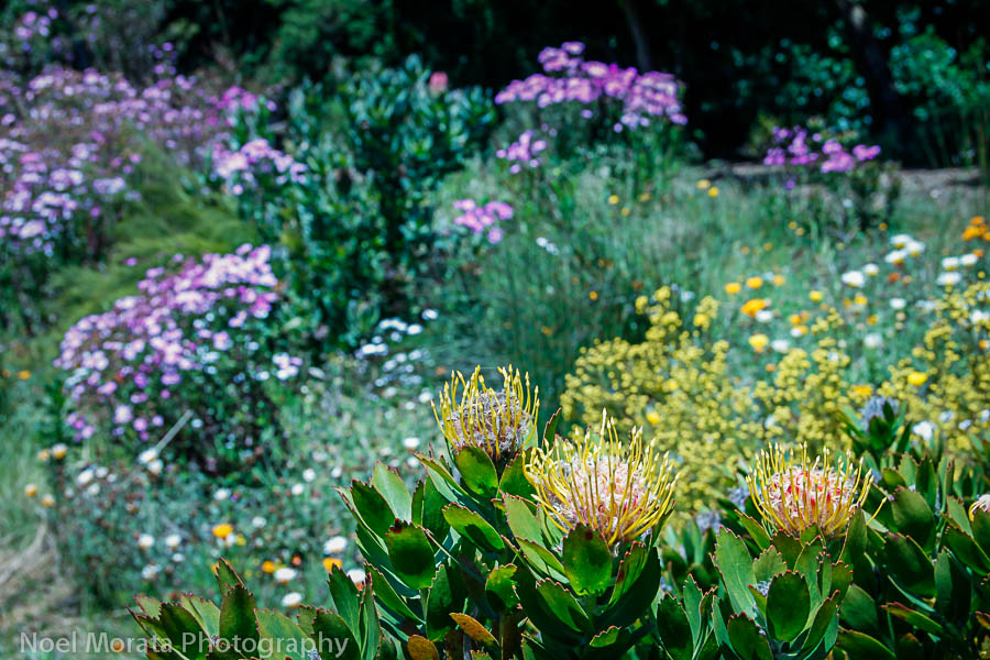 Protea blooms at the San Francisco botanical garden