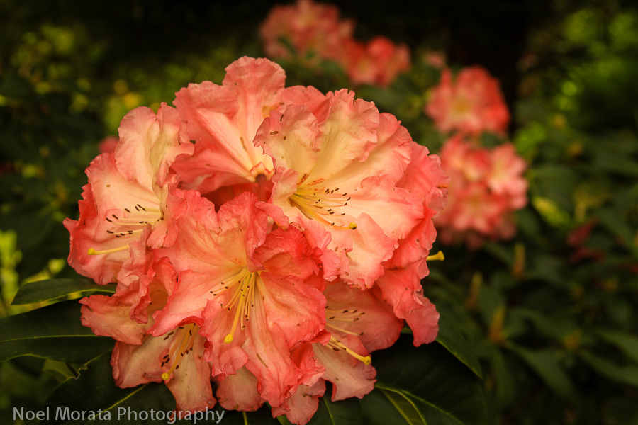 A flush of blooms at the Rhododendron Dell