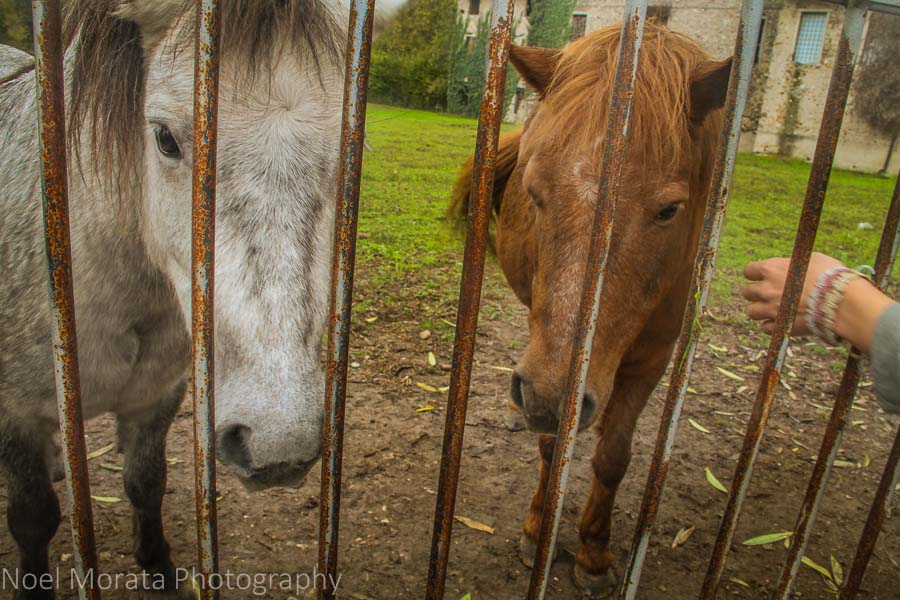 Hungry horses looking for treats at Borghetto