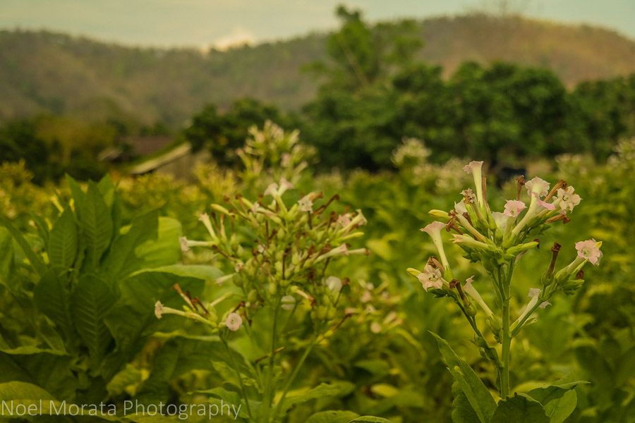 Tobacco crops at Lisu Lodge