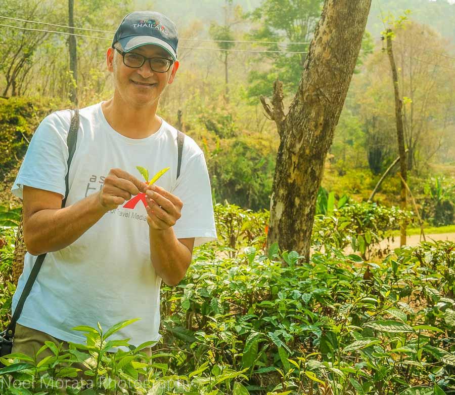 Picking the tips of the camellia tea plants at  Araksa Tea Plantation