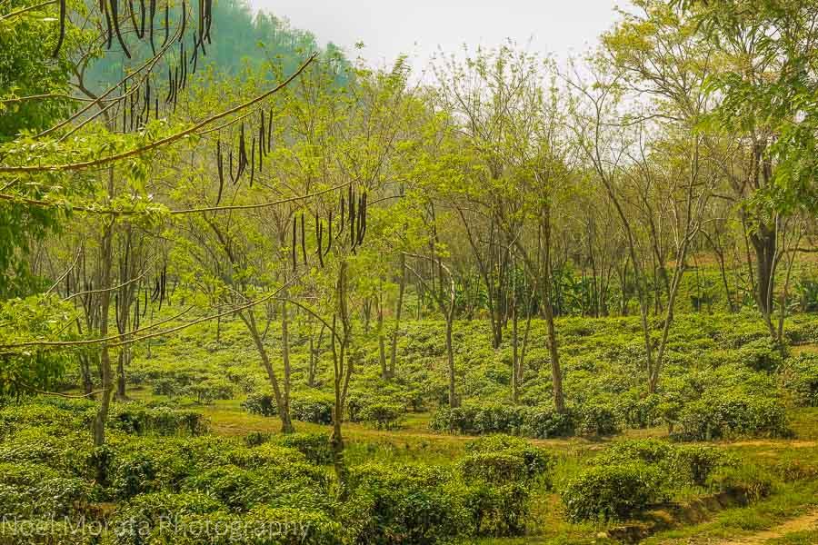 The Araksa tea plantation in Northern Chiang Mai province