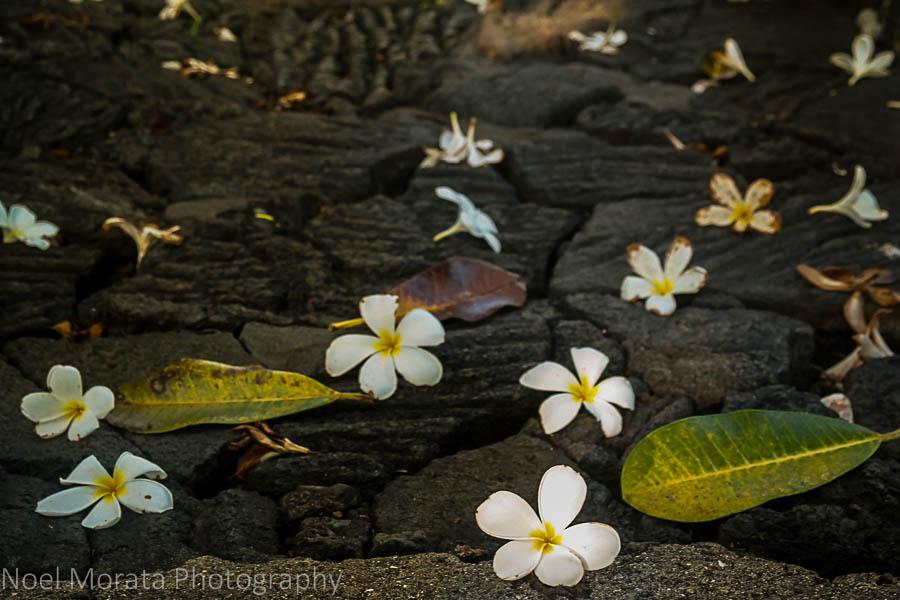 Plumerias and lava rocks - Visiting Keauhou on the Big Island