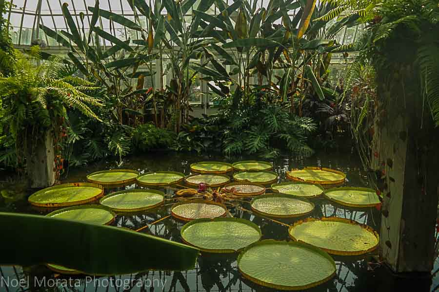 Giant lily pads at Phipps conservatory, Pittsburgh