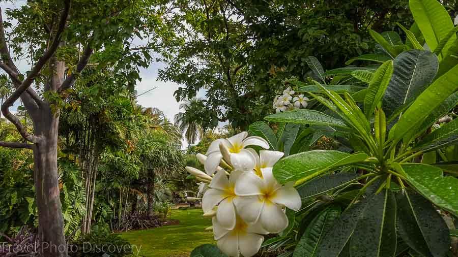 Plumeria blooms Miami Beach Botanical Garden