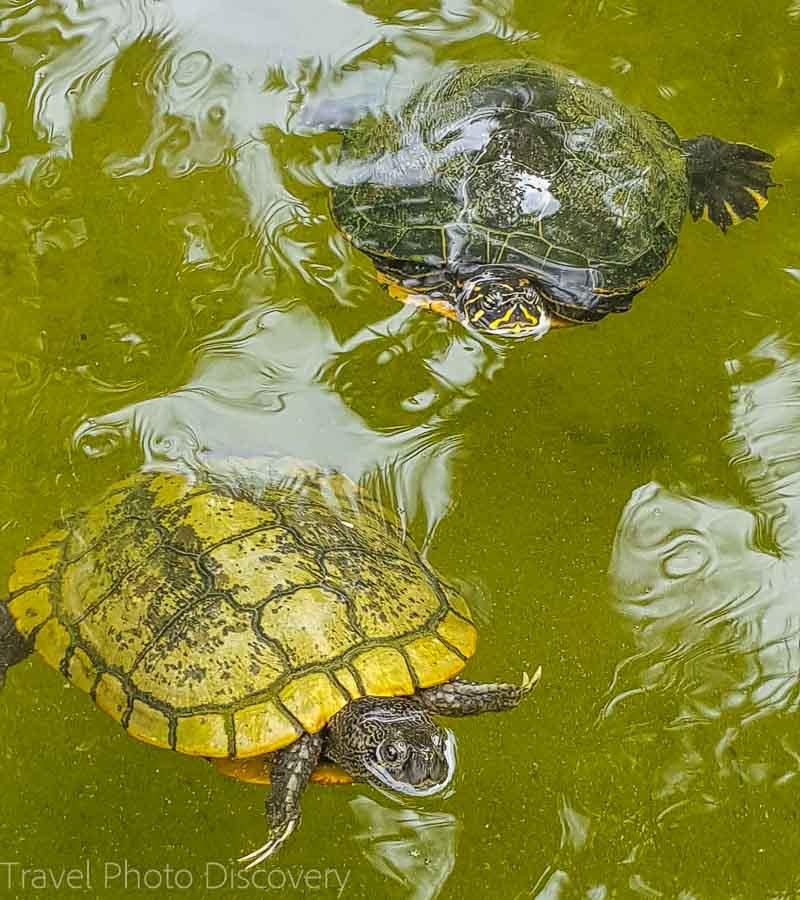 Turtles in the pond at Miami Beach Botanical Garden