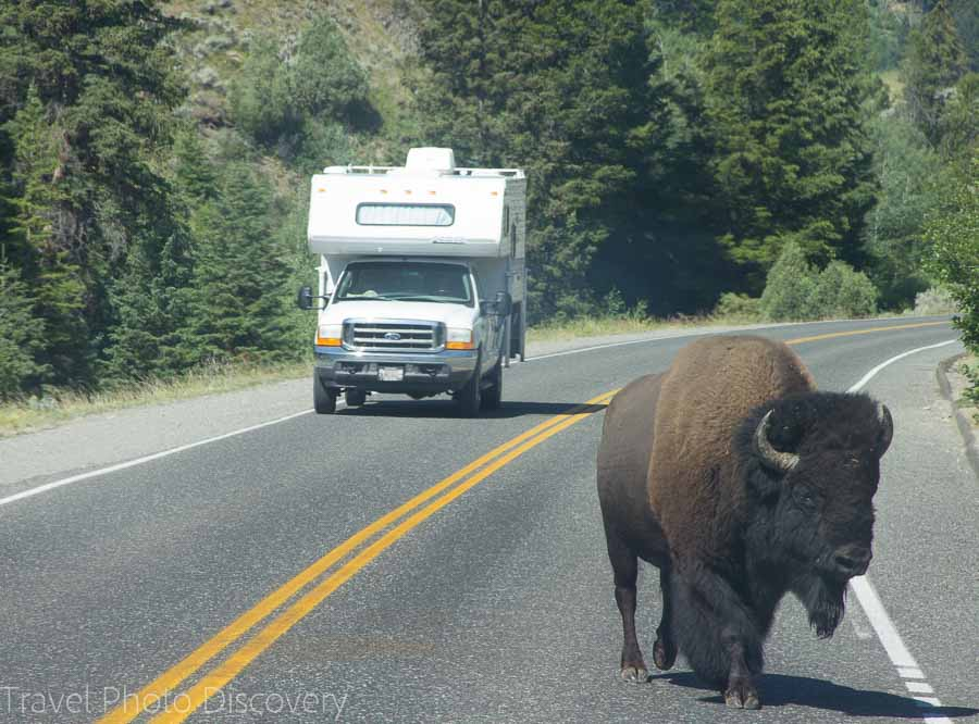Bison wildlife tour at Yellowstone National Park