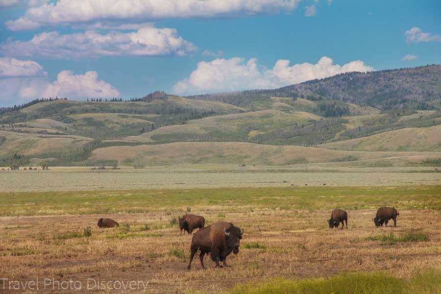 Bisons in the wild Wildlife tour at Grand Teton National Park