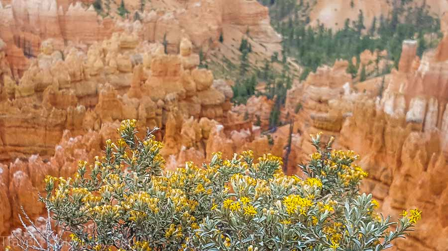 Wildflowers on the trail Visiting Bryce Canyon National Park