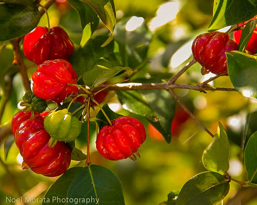 Fresh Surinam cherry on the tree
