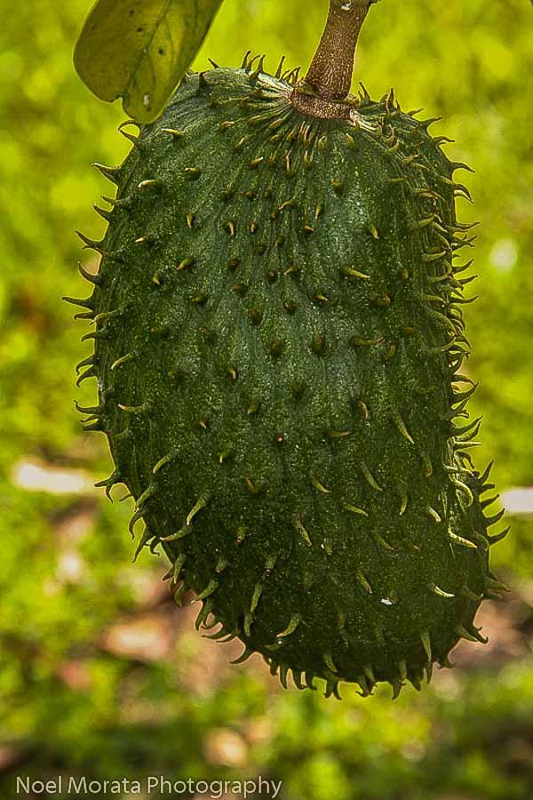 Exotic soursop fruit