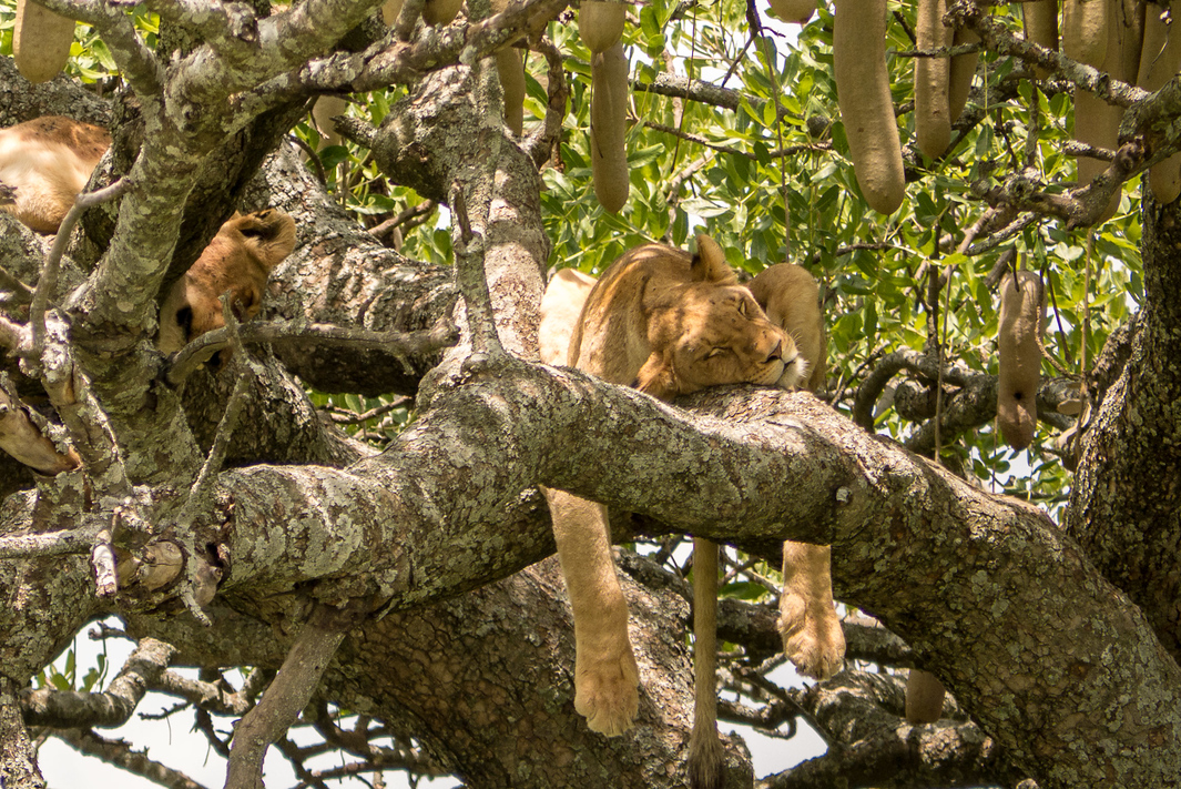 a lion sound asleep in a tree