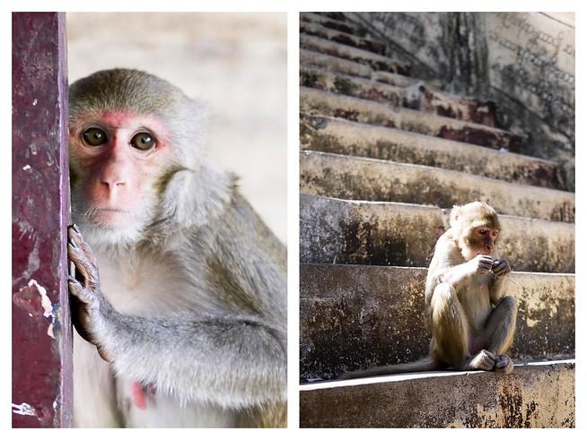 monkeys in myanmar