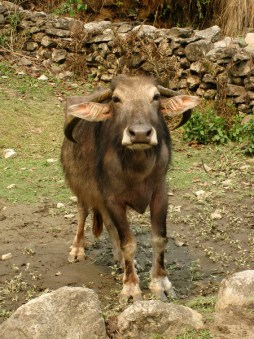 Now that's a Water Buffalo with Character!